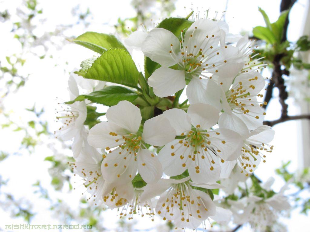 Поза цветы вишни картинка 3