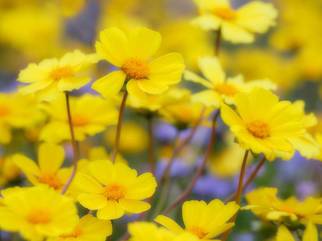 Желтые цветы картинки 6