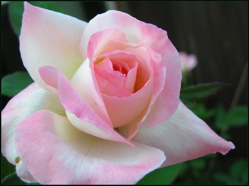розы тёмно алые минусовка: