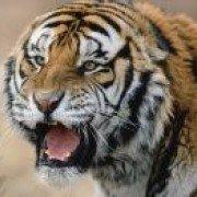 Tigrubengalez