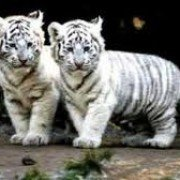 Tigrisor05