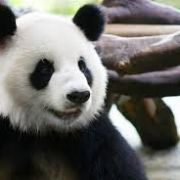 熊Panda熊