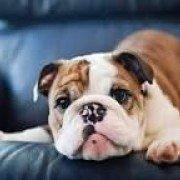 BulldogK